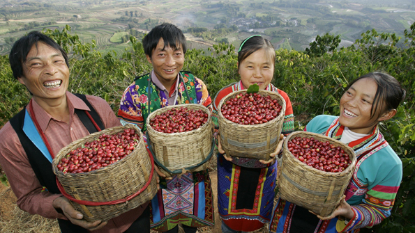 Chinese farmers of Miao ethnic minority group harvest coffee beans at a coffee plantation in Xinzhai village, Lujiang town, Baoshan city, southwest Chinas Yunnan province,